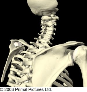 Cervical_Spine_Bone_Anatomy_Post_Oblique.jpg